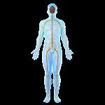 nerv system_web