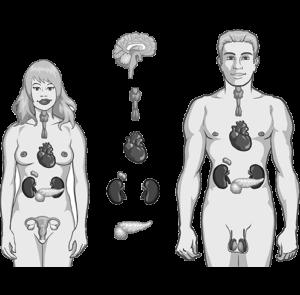 endokrina